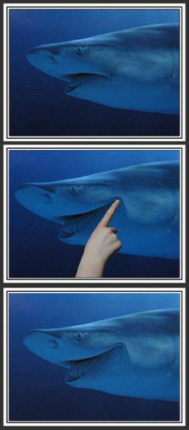 grumpy shark