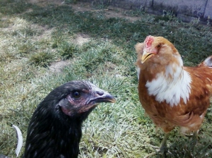 Everyone looks at Peck the black chicken (who doesn't lay eggs!) askance.